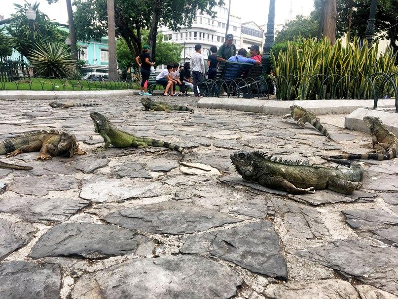 пару игуан гуаякиль