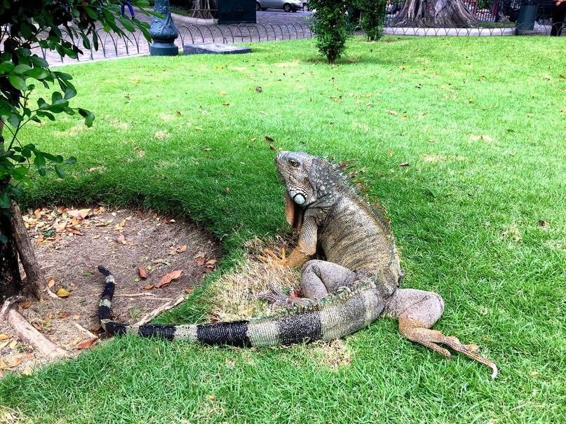 игуана в гуаякиле