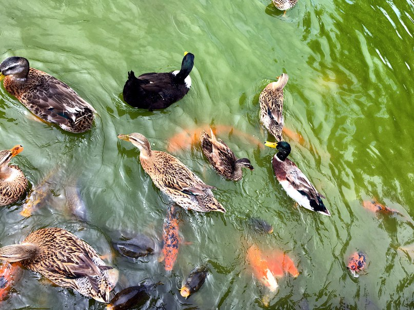 рыбы, лебеди, утки, все смешалось в доме Облонских